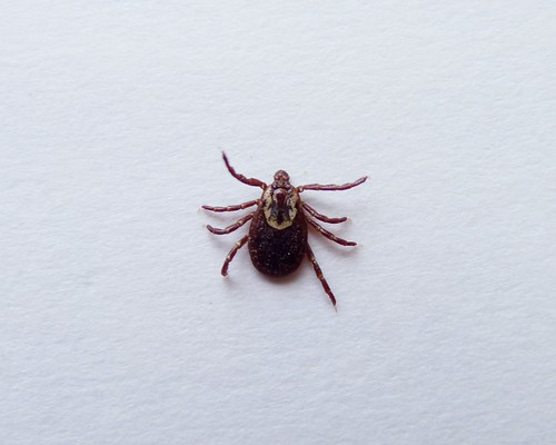 Dog tick | by Dendroica cerulea