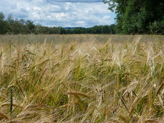 Wheat Field -- we all need a Bread | by Rosa Dik 009 -- catching up !