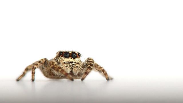 Staring Spider