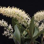Den. speciosum var campactum