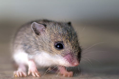 Baby Mouse | by Nick Harris1