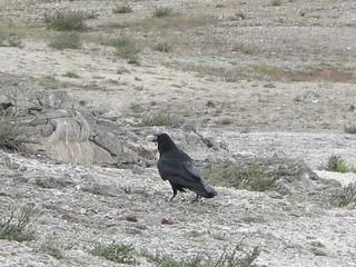 Yellowstone: Strange crow buries a rock | by mormolyke