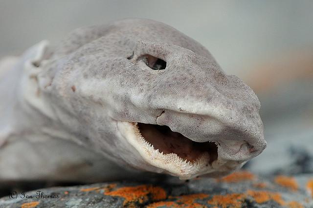 Shark Having A Kip ... Cemlyn Bay
