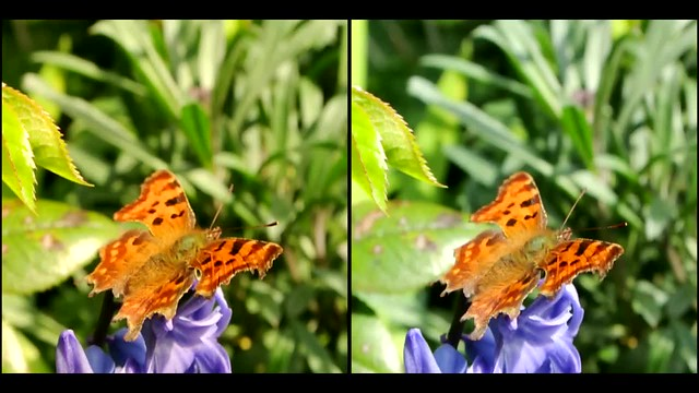 comma butterfly - 3d movie clip - parallel view