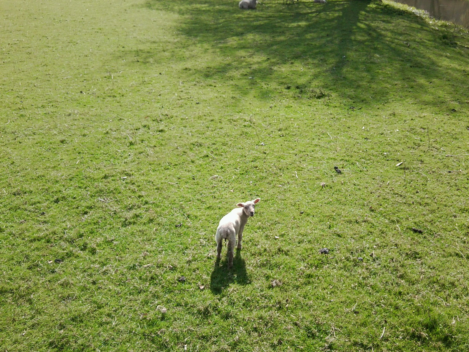 Lamb - swooping eagle's eye view Chilham Circular