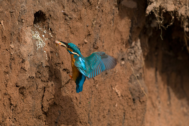 Kingfisher entering nest | The fish that the kingfishers are… | Flickr