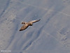 Oriental Honey Buzzard (Pernis ptilorhynchus) by gilgit2
