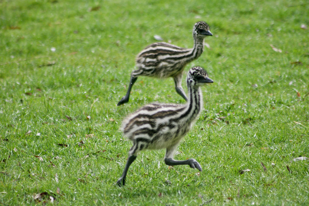 ca31f19090 Emu Chicks   Scientific Name: Dromaius novaehollandiae novae…   Flickr
