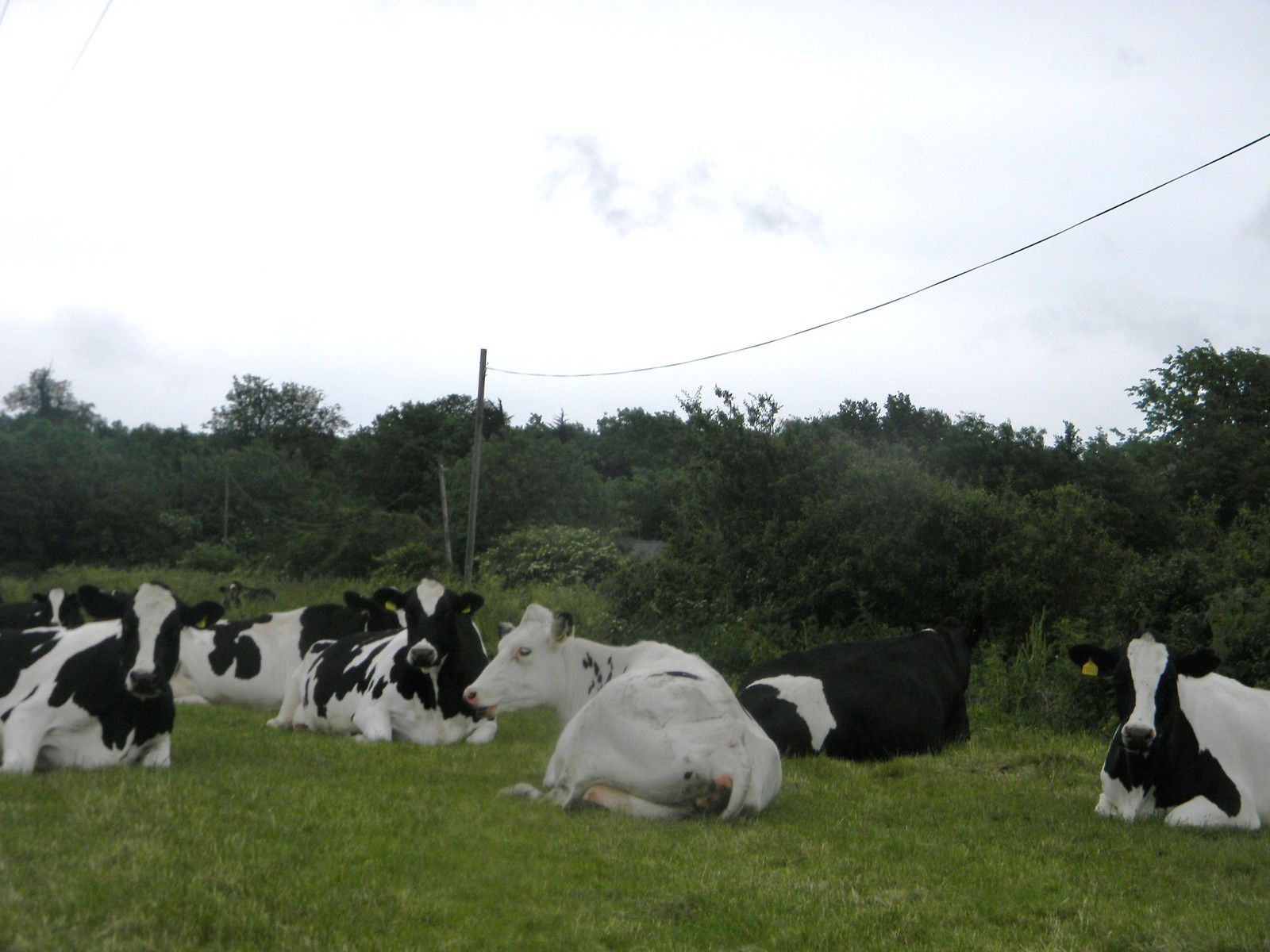 Cows on their day off 1 Lewes to Berwick Cows lying down - a sure sign of rain