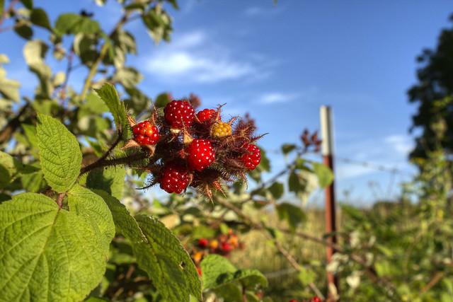 Rubus idaeus, fruiting, White County, Tennessee