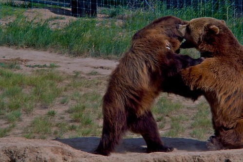 Da Bears Wrestle
