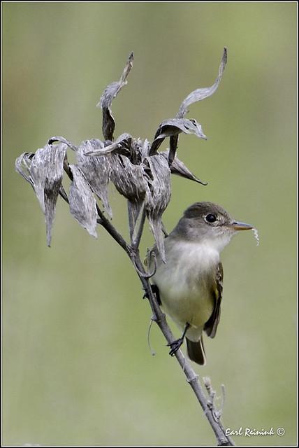 Least Flycatcher (20120527-0386)