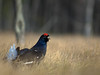 Classic - Black grouse by Billy Lindblom
