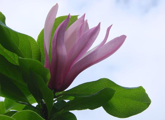 Sweet Tulip Magnolia