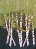 Summer Birches