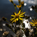 Yellow daisy bokeh