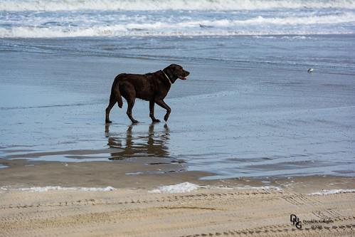 ocean usa dog beach nature animals outdoors nc northcarolina atlantic northamerica mammals outerbanks corolla obx outerbanx 4x4beach