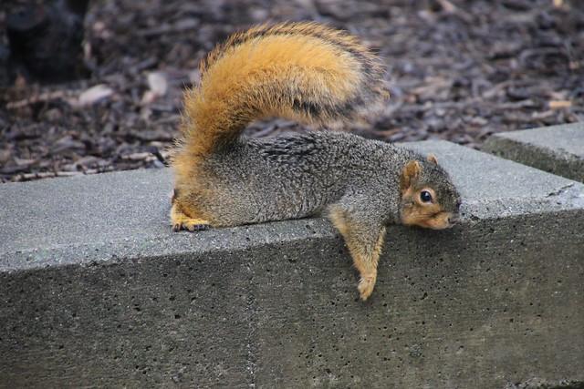 193/365/2749 (December 21, 2015) - Squirrels in Ann Arbor at the University of Michigan (December 21, 2015)