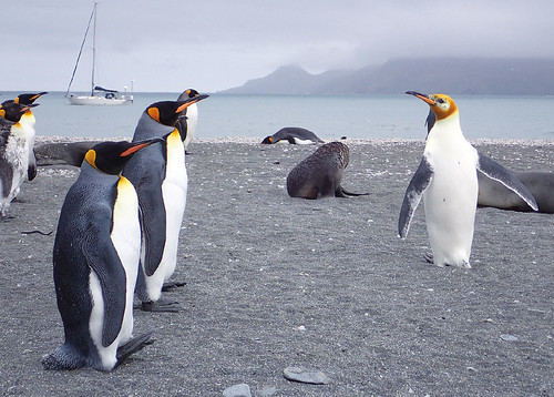 Albino-king-penguin