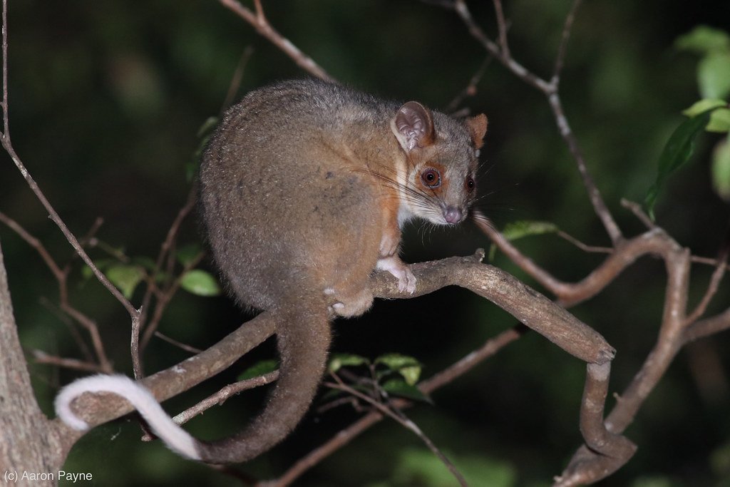 Common Ringtail Possum (Pseudocheirus peregrinus) | Common R… | Flickr