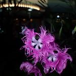 Dianthus superbus L. var. longicalycinus
