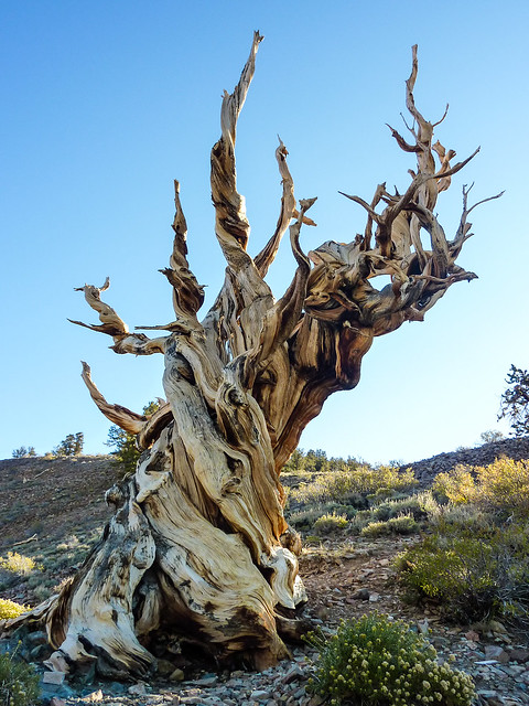 Bristlecone pine hanging on for dear life at 10,000 feet