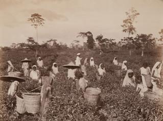 Plucking the Tea, Ceylon