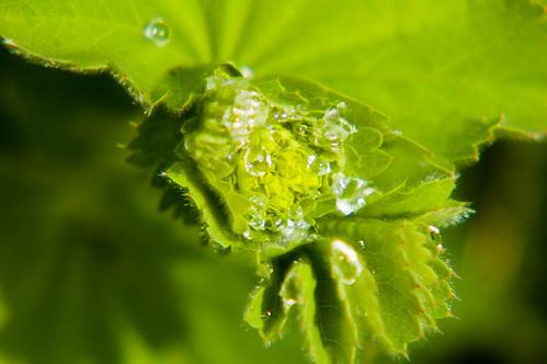 Alchemilla mollis after rain