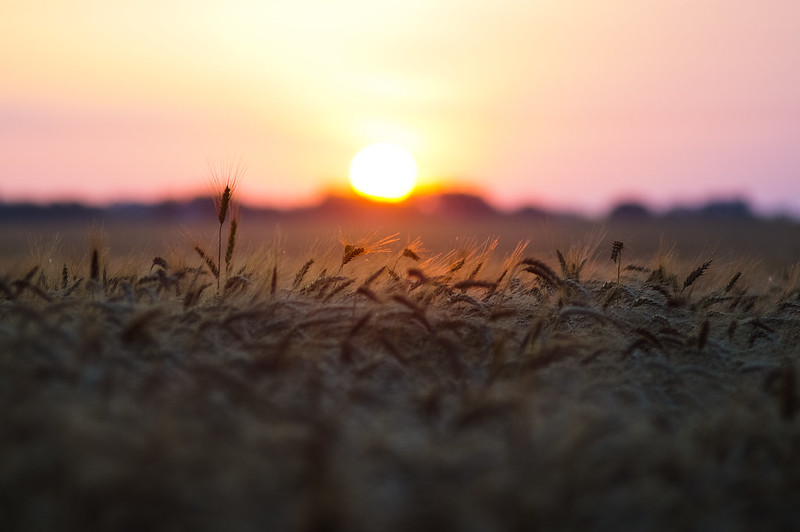 Sunrise over wheat field