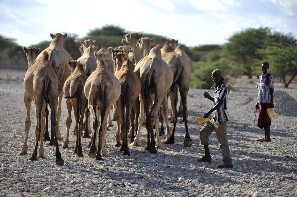 """Image result for camels in northern kenya"""""""