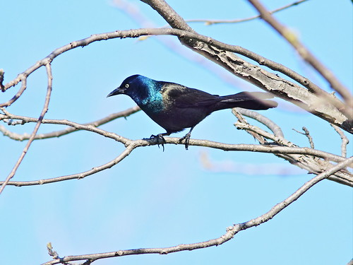 Common Grackle 01-20160503