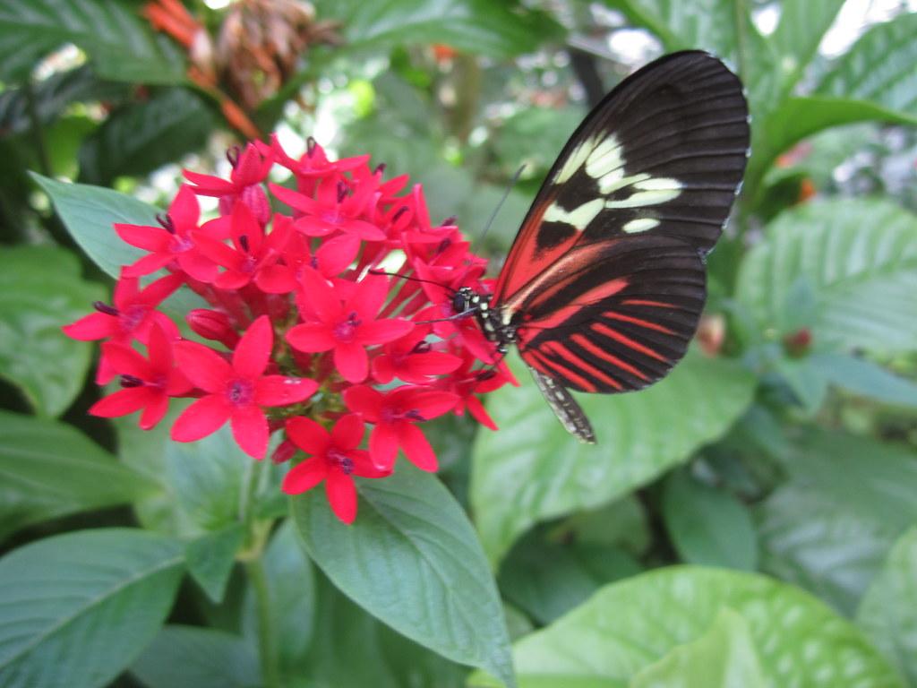 Madeira Butterfly