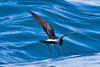 012002.1-IMG_1510 New Zealand Storm-petrel (Fregetta maoriana) by ajmatthehiddenhouse