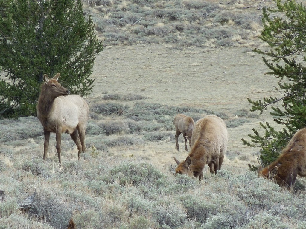 4 Elk Grazing Just Me 101 Flickr