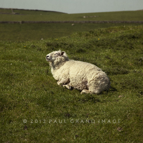 sheep sunning at Winnets Pass | by Paul Grand