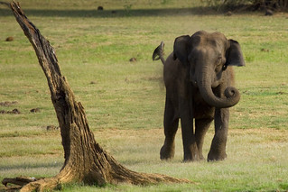 Charging Elephant @ Kabini Forest | by VinothChandar