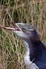 Yellow eyed penguin Megadyasdfasf ptes antipodes juvenile by Maureen Pierre
