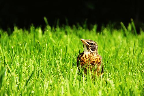 baby bird robin closeup fledgling protophotogsl 007edit1
