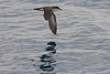 Tropical shearwater (Puffinus bailloni) 16 Mar-12-7885.jpg by tim stenton www.TimtheWhale.com