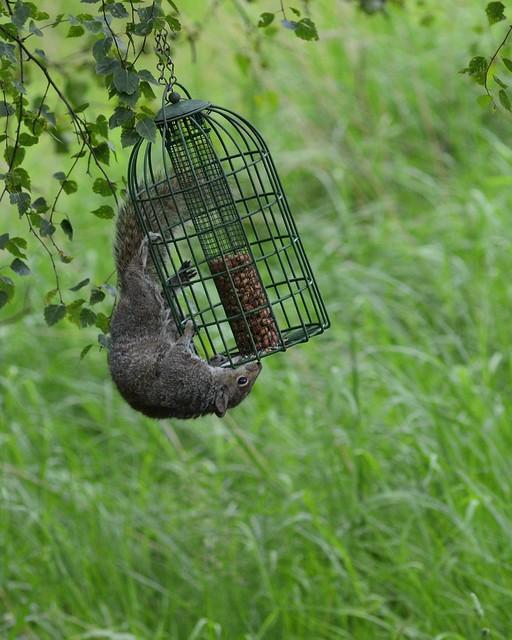 Grey squirrel_001