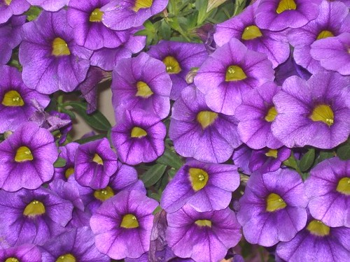 Calibrachoa | by Rose Hill Nurseries