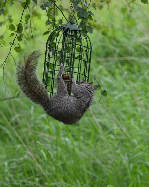 Grey squirrel_002