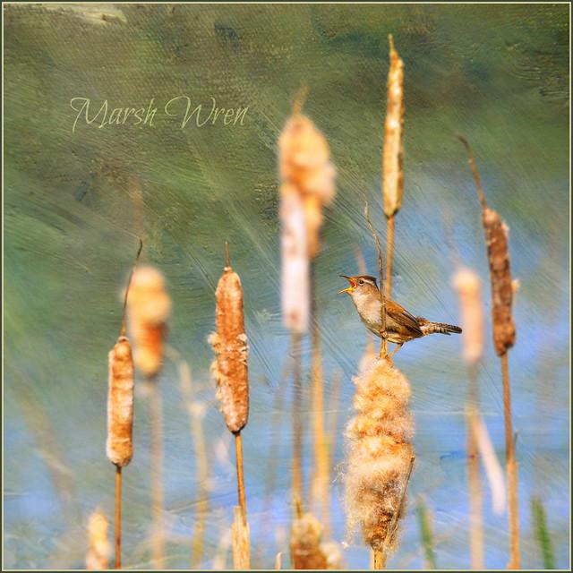 marsh wren . . .
