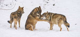 Playing wolves | by Tambako the Jaguar