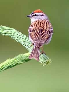 Chipping Sparrow 3-20120509 | by Kenneth Cole Schneider