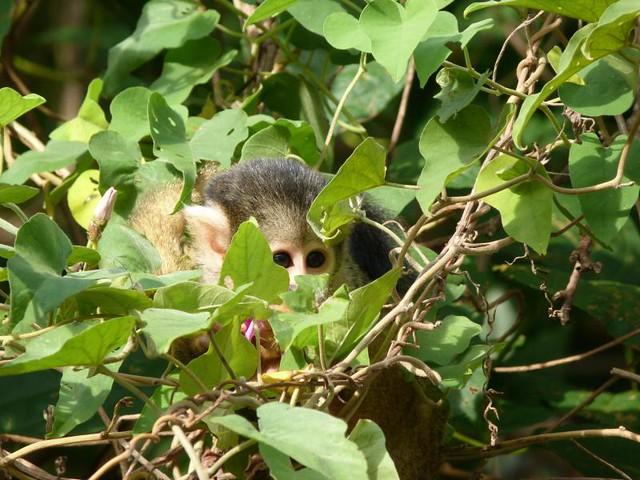 Mono en las Pampas del Yacuma (Bolivia)