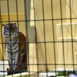 アムールトラ「ココア」4歳の誕生会@釧路市動物園