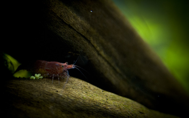 Mother Red Cherry Shrimp carrying eggs