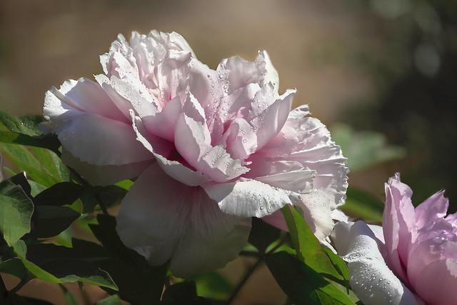 牡丹花 Peony-10