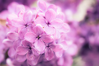 Lilac in the Light